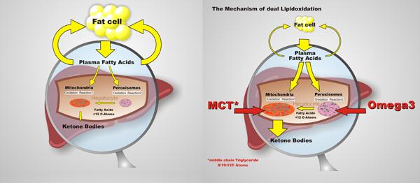 Der Duale Lipidoxidations-Mechanismus (DLO)